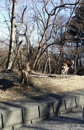 伊豆高原の鹿
